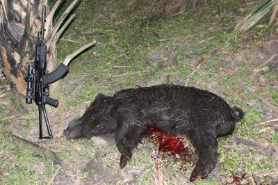 This boar weighed in under 200 pounds, but was easily the largest pig I saw on the hunt.