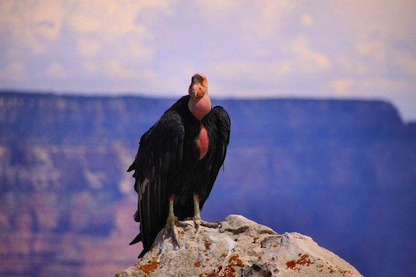 "The California condor.  According to the updated Fish and Wildlife report condors are still be exposed to lead despite the ammo ban.  The report said,  ""[T]here are other sources of lead in the environment that condors may be accessing, including five individual condors apparently ingesting chips of lead-based paint in a fire tower (since remediated)."""