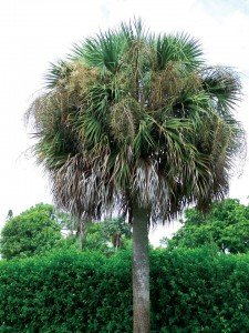 "But the sabal palm, otherwise known as the ""cabbage palm,"" is all over the place. Who knew you could cut it down and eat the heart of it, in the supermarket called ""hearts of palm."""