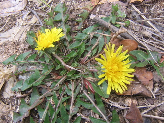 Where I grew in New Hampshire dandelions were a constant lawn pest, but I haven't seen one since moving to Florida. The USDA database has dandelion varieties all over the US, but the Florida website only has part of the state covered.