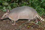 Woman Hit By Bullet Ricocheting Off Armadillo, Proof of 9mm Inferiority?