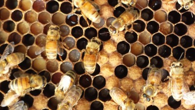 I didn't get into the lifecycle of the bee for this article, because there is plenty of information online and in books. You can see the bee larva in the cells here. Bees take meticulous care of their young.