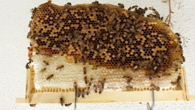 This was one of the frames from my Warre hive early on. The bees thrived, but they really haven't been productive, despite months of feeding to build the initial comb. I don't see an advantage to the top bar style hives whatsoever. The goal is to produce honey.