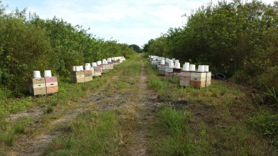 He dropped a total of 88 hives on what I think is either public or railroad land near large orange groves. Orange blossom honey sells at a premium. He lost about a dozen hives over this experiment from what I saw, possibly to theft.