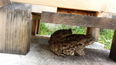 This giant toad, and it's offspring, used to hang out under the Warre hive waiting for bees. It is endemic of what survival will bee like I think.