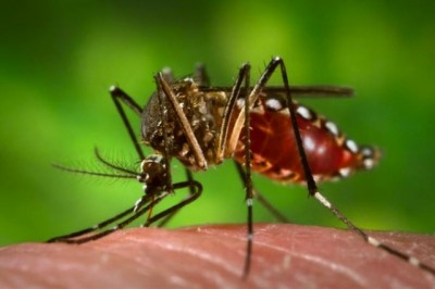 The explosion in cases of Microcephaly, a birth defect that produces babies with small heads,  is mostly limited to Brazil right now, but that was not coincidentally where genetically modified mosquitoes were released last July. There is some serious hanky panky going on.