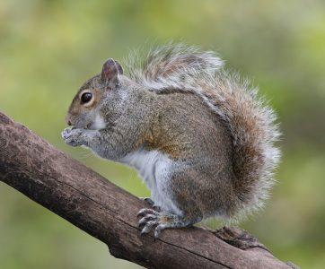 Eastern_Grey_Squirrel