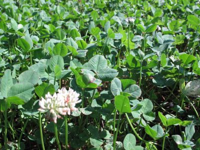 White clover is a staple of food plots and a steady attractant for deer in the area.