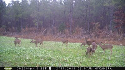 Big groups of does caught on camera after mid-November signals the rut is definitely winding down or even over.