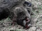 Driving Boars in Poland — Testing Norma's New Strike Line