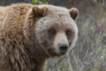 Federal Judge Blocks Grizzly Hunt Two Days before Opening Day