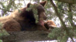 California Bowhunter Mauled by Bear in San Bernardino Made Costly Mistake