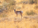 Bowhunting Pronghorn: Success Despite Mistakes