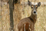 Michigan Votes to Cut Back on Deer Sterilization in Favor of Hunting