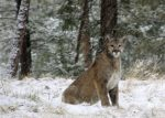 Mountain Lions Spotted Encroaching on Colorado Residents