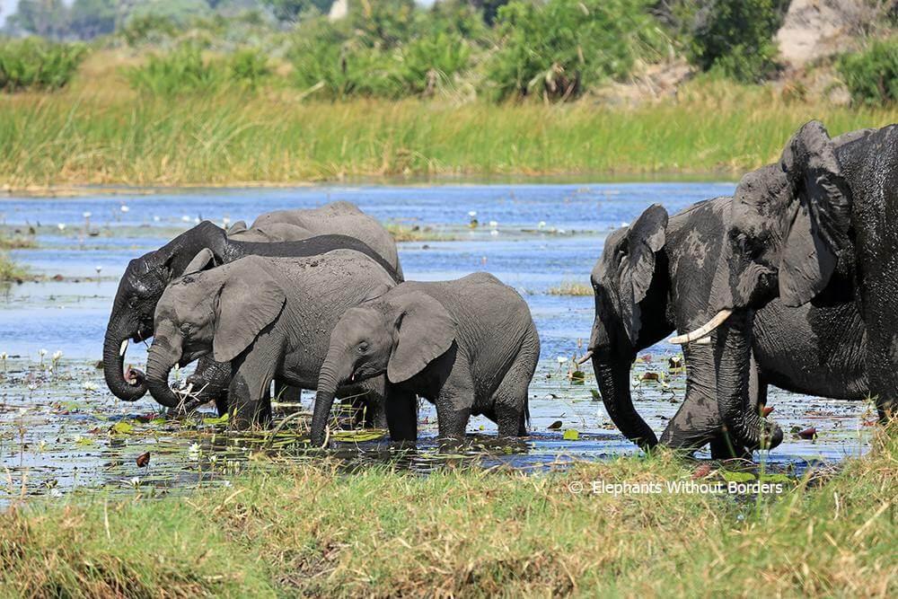 Botswana Green-Lights Elephant Hunting, May Sell Ivory Stockpiles
