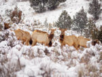 206 Elk Killed By Idaho Fish & Game: What's Going On?