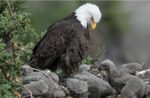 Michigan Bald Eagle Comeback Is Win For Hunters