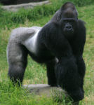 Poacher Sentenced to 11 Years in Prison for Killing Silverback Gorilla