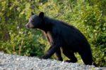 New Jersey: No Black Bear Hunt in 2021