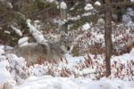 Wisconsin Committed to 2021 Wolf Hunt