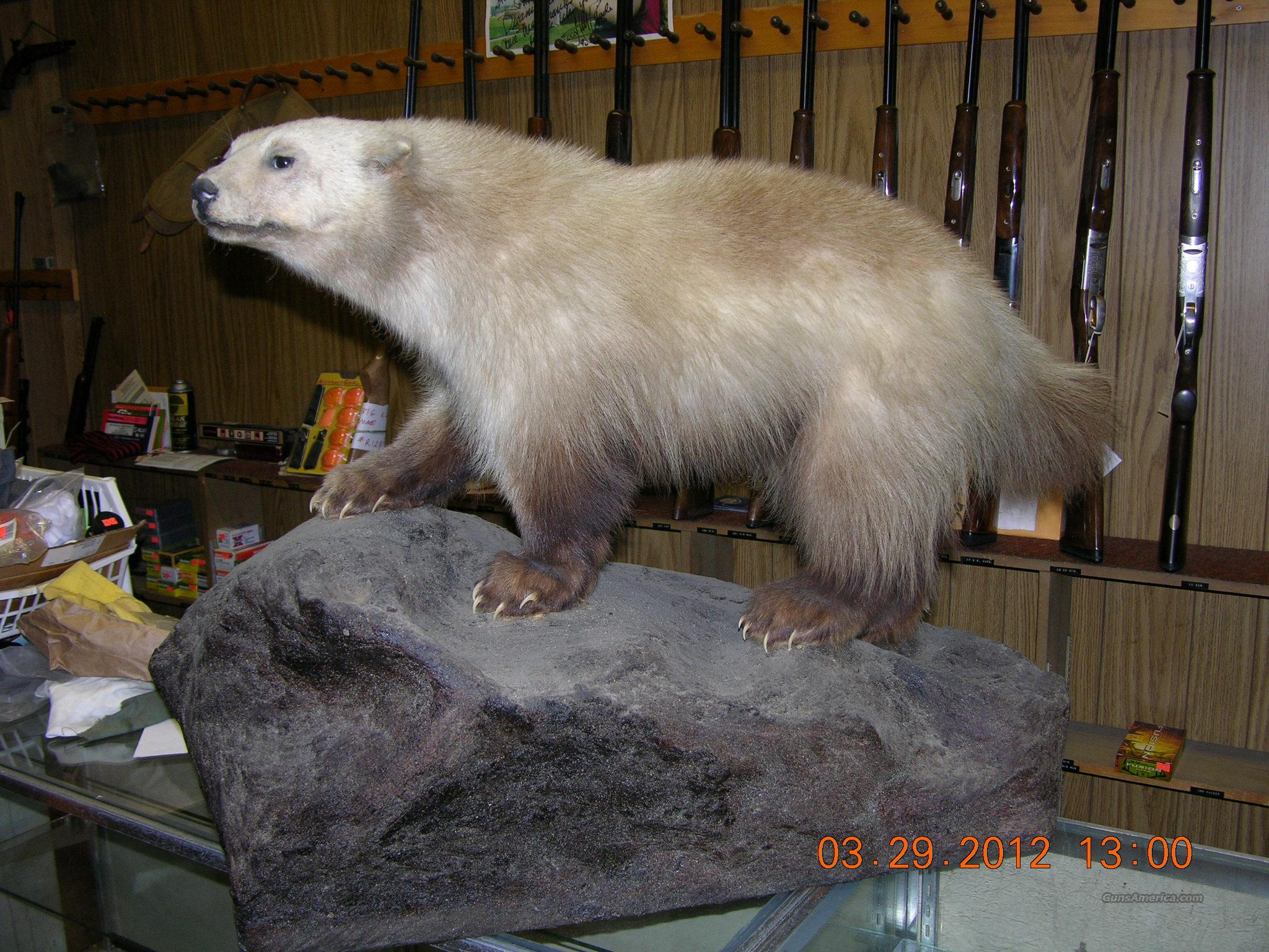 Wolverine-Full Mount on rock perch from British Columbia  Non-Guns > Taxidermy Hides/Mounts, etc.