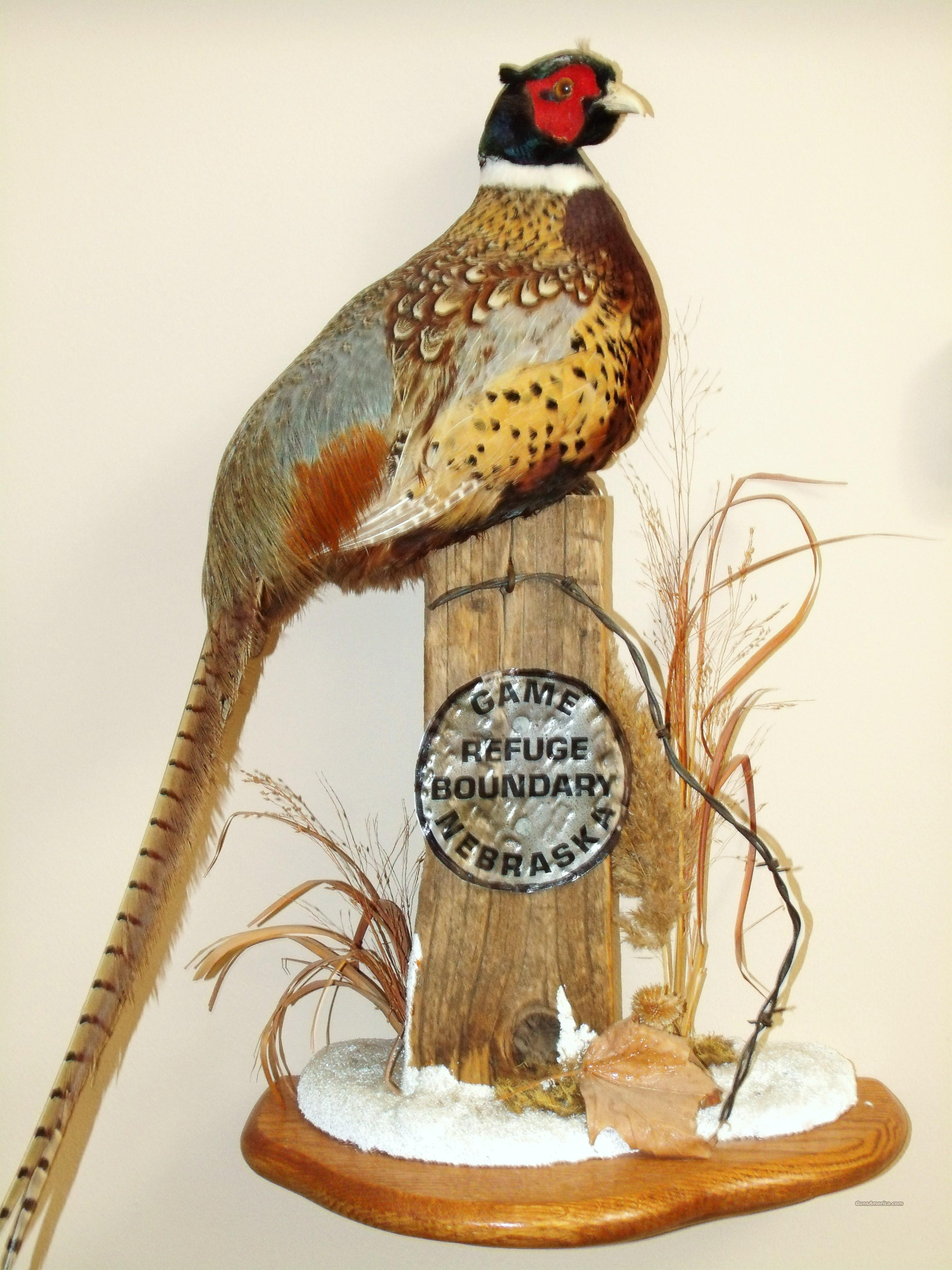 Pheasant Mount For Sale