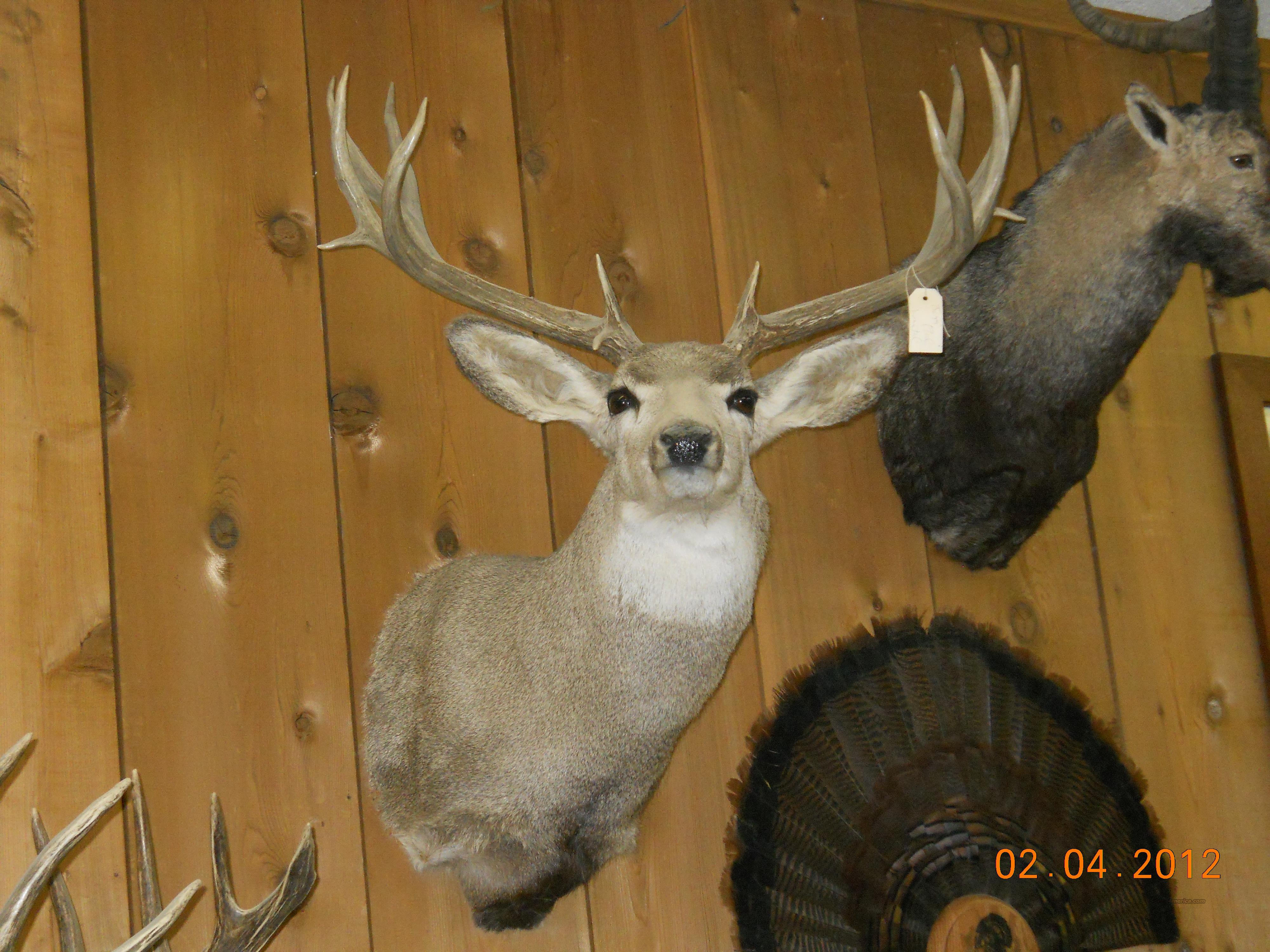 MULE DEER MOUNT - 30+ INCH RACK!!  Non-Guns > Taxidermy Hides/Mounts, etc.