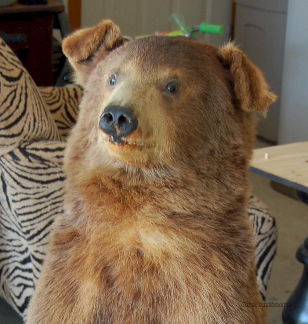 Black Bear Taxidermy  Non-Guns > Taxidermy Hides/Mounts, etc.
